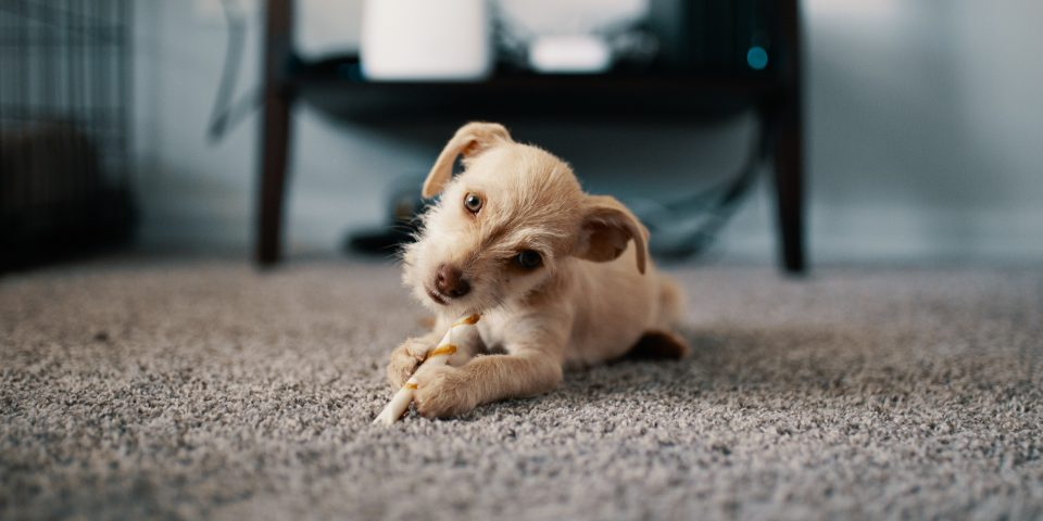 Small dog plays on Bakersfield carpet.