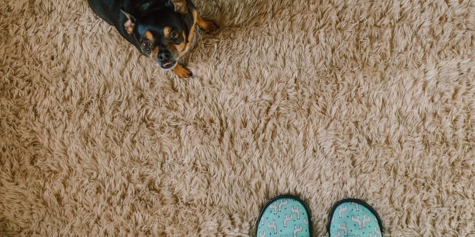 animal and feet on top of Bakersfield carpet